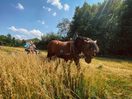 Freilandmuseum Oberpfalz in Neusath-Perschen: Museumspferde im E