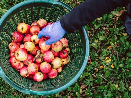 Äpfel liegen in einem Korb