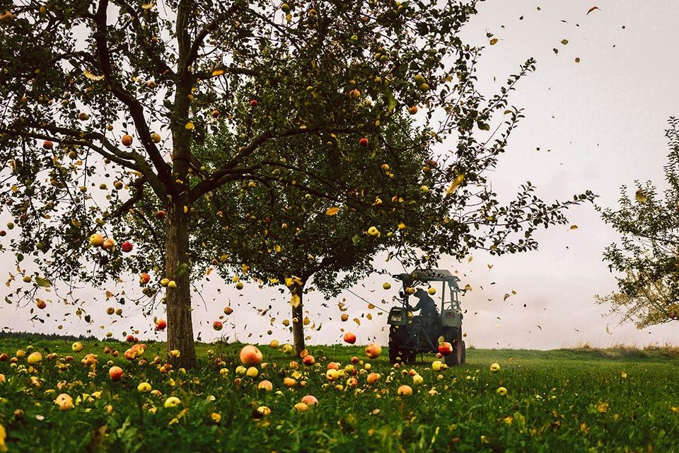 Apfelernte bei der Mosterei Bernhard