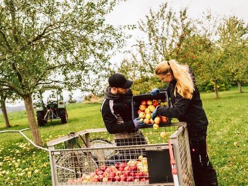Monika und Hansi kippen Äpfel in einen Korb